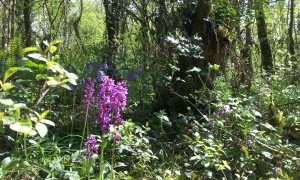 Orchids and Blue bells