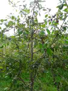 Bird damaged damson tree