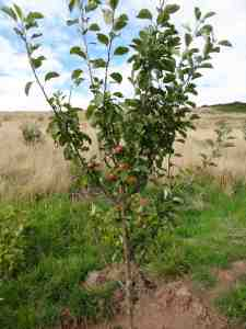 Court of Wick Apple Tree