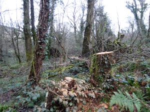 A fallen tree that was ring barked last year- sectioned up.