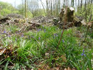 Bluebells among brash in the coppice